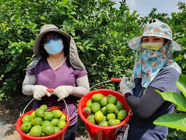 張乃千老師採收新鮮檸檬,用最新鮮的檸檬製作天然建康的檸檬果乾。(雲林家扶提供)