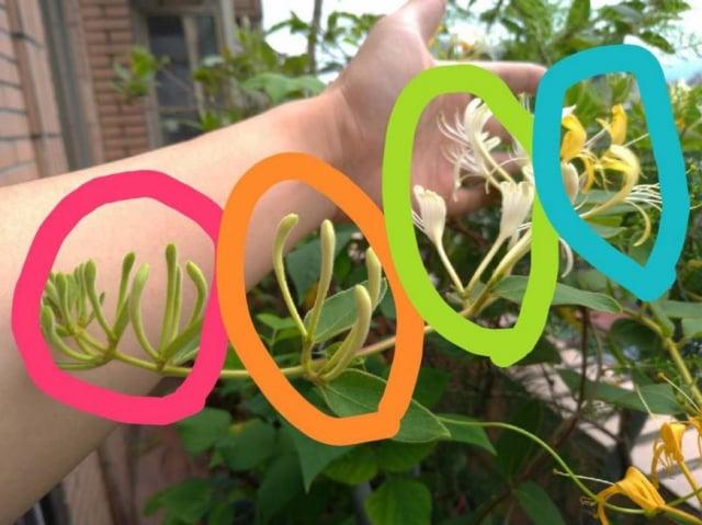 金銀花植物:左到右花蕾依次逐漸成熟,最後呈現金色花,右下角為其種子。(張賢哲教授《道地藥材圖鑑》提供)