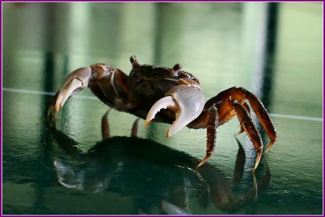 外型與亞洲新脹蟹、印度刁曼蟹非常相似,辨識時要小心。(攝影/鄭清海)