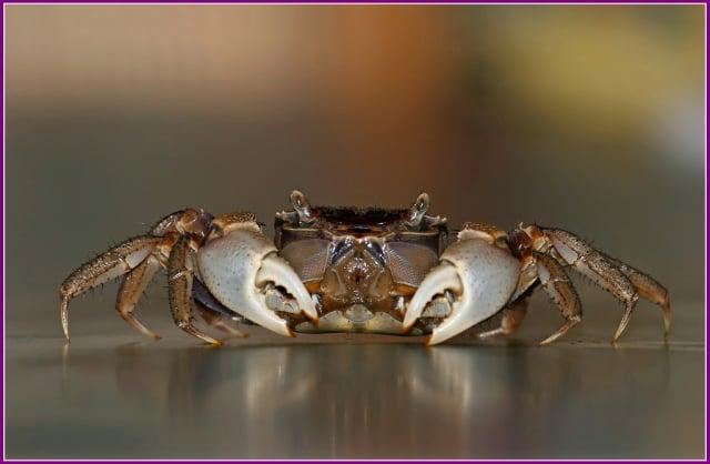 圓額新脹蟹Neosarmatium rotundifrons相手蟹科。(攝影/鄭清海)