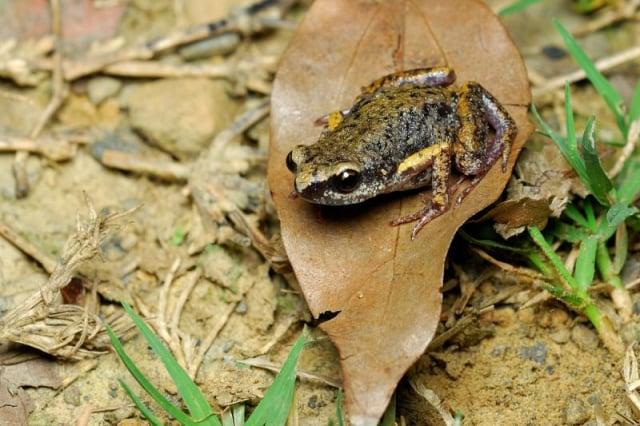 史丹吉氏小雨蛙。(白欽源/漫步在森林的氣味裡,臺灣生命大百科/公有領域)