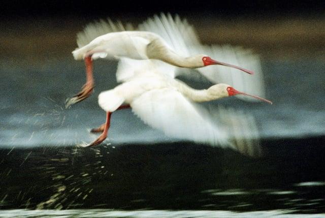 王徵吉攝影作品《非洲琵鷺》。(王徵吉  提供)