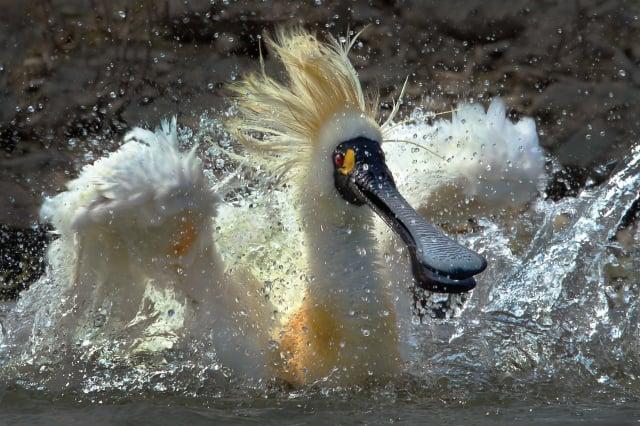 王徵吉攝影作品《黑面琵鷺》。(王徵吉  提供)