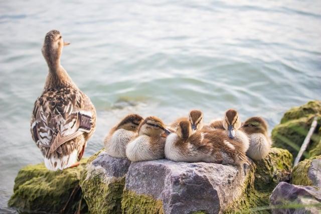 你可能不知道,餵鴨子吃麵包可能會害了牠們。(Pixabay)