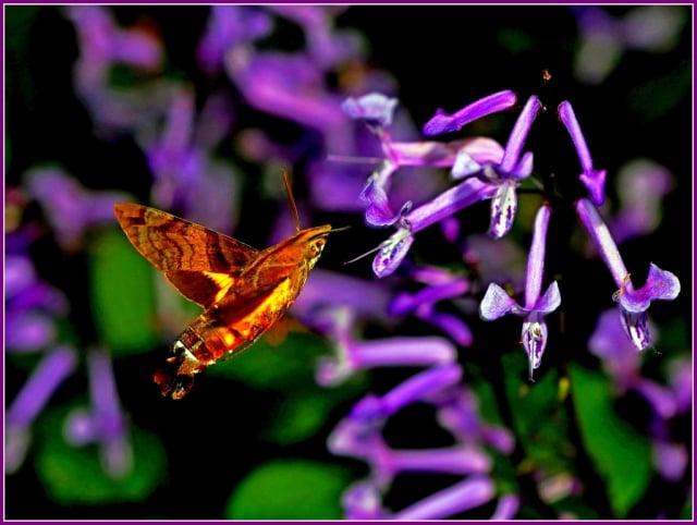 九節木長喙天蛾Macroglossum heliophila天蛾科。(攝影/鄭清海)