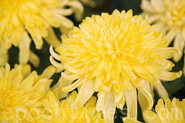 菊花是寒露時節最具代表性的花卉。(攝影/全景林)