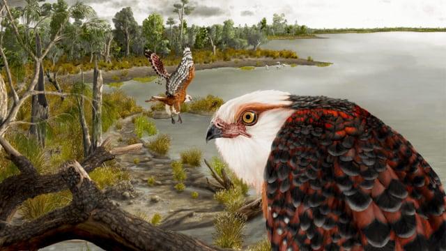 澳大利亞科學家數年前在南澳一個偏遠的內陸牧場出土的鷹骨架化石,確定是一種2500萬年前的鷹家族新物種。(J Blokland/Flinders University)